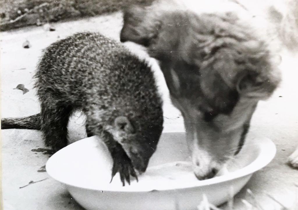 Rikki-Tikki y Duke desayunando